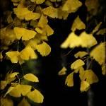 """""""Ginkgo Butterflies"""" by Telzey"""