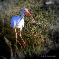 White Ibis Portrait
