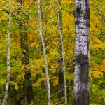 """September Birch Dream"" by johnmclaird"