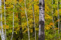 September Birch Dream