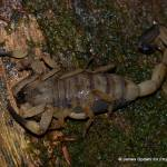 """Scorpion found in Hitoy Cerere"" by projectgreenjungle"