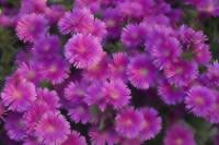 Memory of Asters