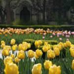 """""""Spring Tulips"""" by TeresaMiller"""