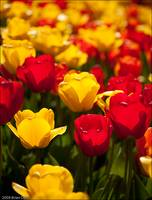 Red and Yellow Tulips, Longwood Gardens
