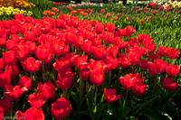 Mixed Tulip Beds