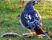 Redtail With Kill