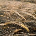 """""""Golden Wheat"""" by Degginger"""