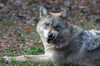 Annoyed Mexican Wolf