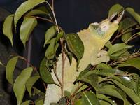 Big Male Jackson Chameleon