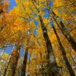 """Tall Minnesota October Gold Under Blue Sky"" by johnmclaird"