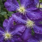 """""""Violet Clematis"""" by Degginger"""