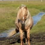 """""""Icelandic Horse Portrait"""" by Degginger"""