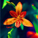 """Blackberry Lily"" by jacquerose"