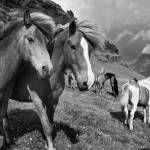 """Icelandic Horses in Pasture"" by Degginger"