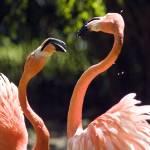 """""""Flamingo Fight"""" by SusanPszenitzki"""