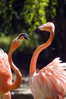 Flamingo Fight