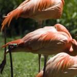"""""""Flamingo"""" by SusanPszenitzki"""