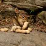 """Peanut Hoarding Chipmunk"" by mikepolo"
