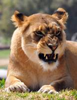 A Angery Lioness