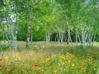 Wildflowers and Birches