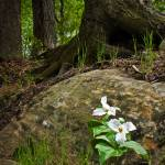 """Trilliums by rock"" by jimstirtzinger"