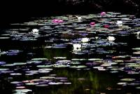 black lagoon and water lilies