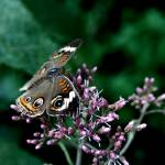 """Butterfly Perched on Purple"" by kennethwcain"