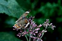 Butterfly Perched on Purple