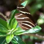 """""""Zebra Heliconian"""" by 4wbiw"""