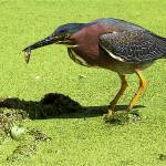 """Green Heron"" by 4wbiw"