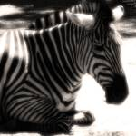 """Zebra Crop and Filtered"" by TheArchaiea"