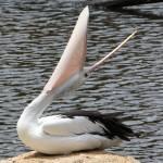 """Pelican"" by teganl"