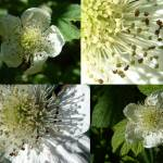 """blackberry flower"" by LOUISEDIONNE"