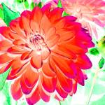 """Red Dahlia"" by SteveWalton"