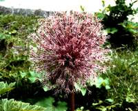 Death of an Alium