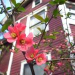 """quince flowers"" by hannahmiller"