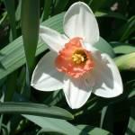 """""""daffodil"""" by hannahmiller"""