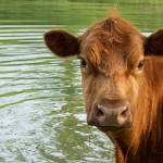 """""""Brown Cow"""" by mikart"""