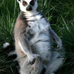 """Posed Lemur"" by amythomas"