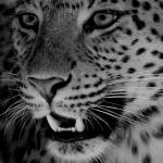 """Big Cat B&W"" by louisefahy"