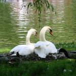 """nesting swans"" by candicecruzphotography"