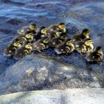 """baby ducks"" by candicecruzphotography"