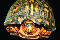 A Box Turtle Hello
