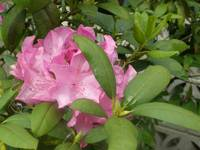 Pink rhododendrom
