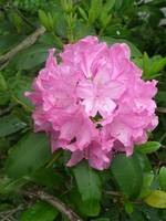 The Beautiful Pink Rhododendrom
