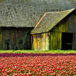 """Barn and Tulip field"" by RichardDuval"