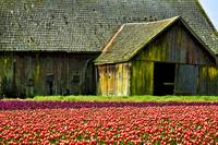 Barn and Tulip field