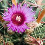 """Autumn Cactus Blossom"" by kretyen"