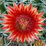"""Barrel Cactus Blossom"" by kretyen"