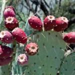 """Prickly Pear Cactus Fruit 2"" by kretyen"
